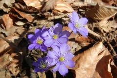 Leberblümchen tauchen im Frühling  die Hänge in Blau