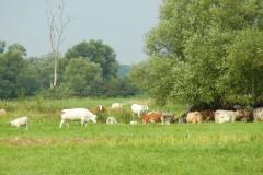 Beweidete Polderwiesen bei Alt Galow